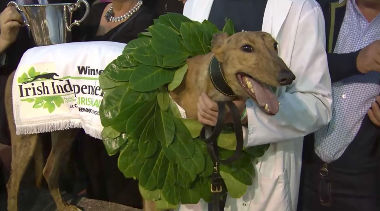 Champion greyhound found with cocaine in his system
