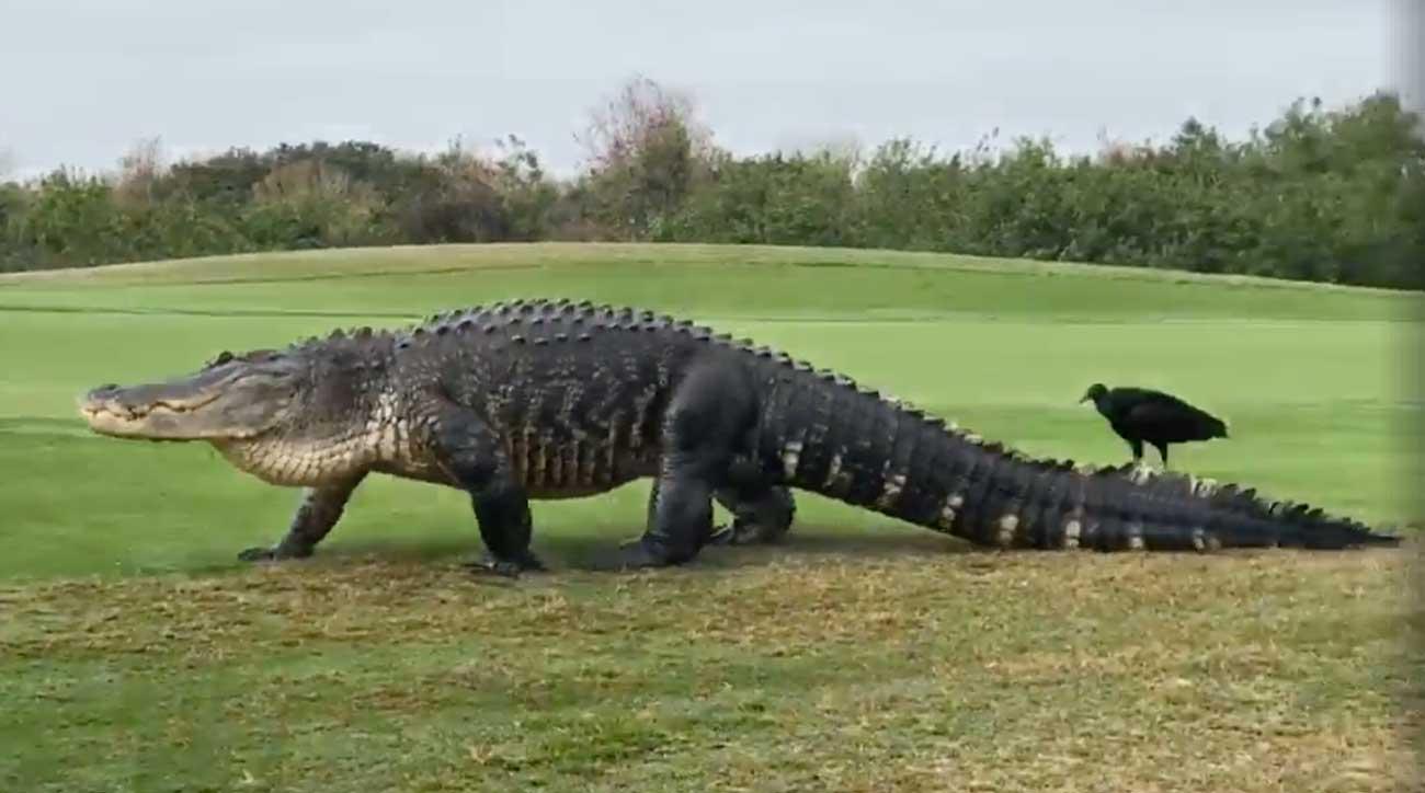 Good news, gator fans:Chubbs is back.