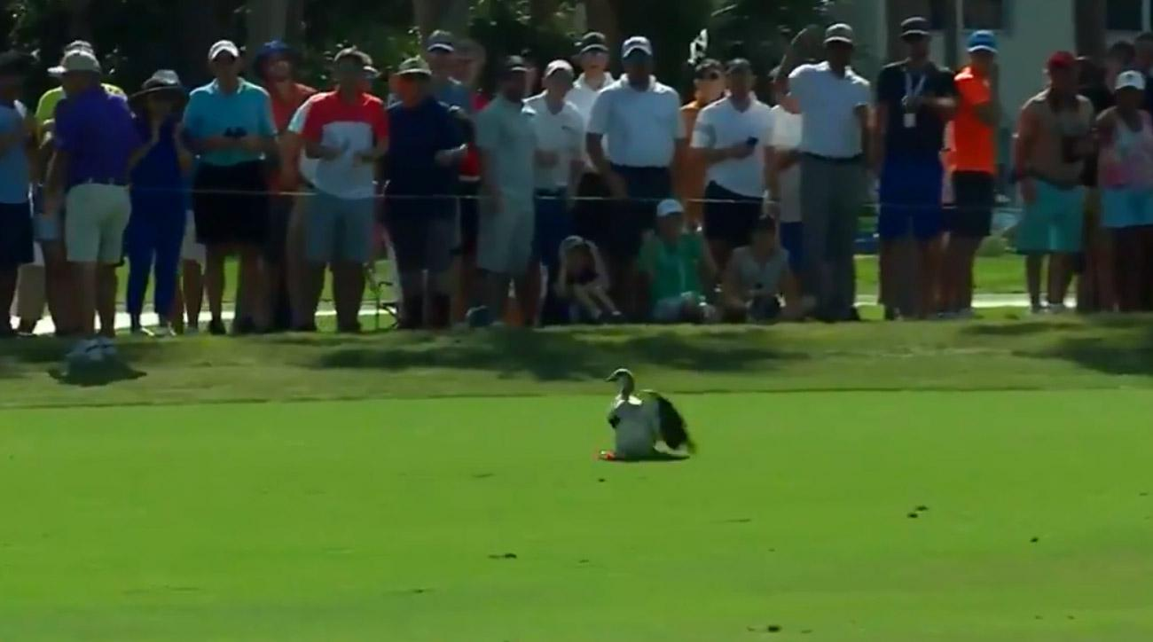 A goose at PGA National tries to dodge a Tiger Woods tee shot.