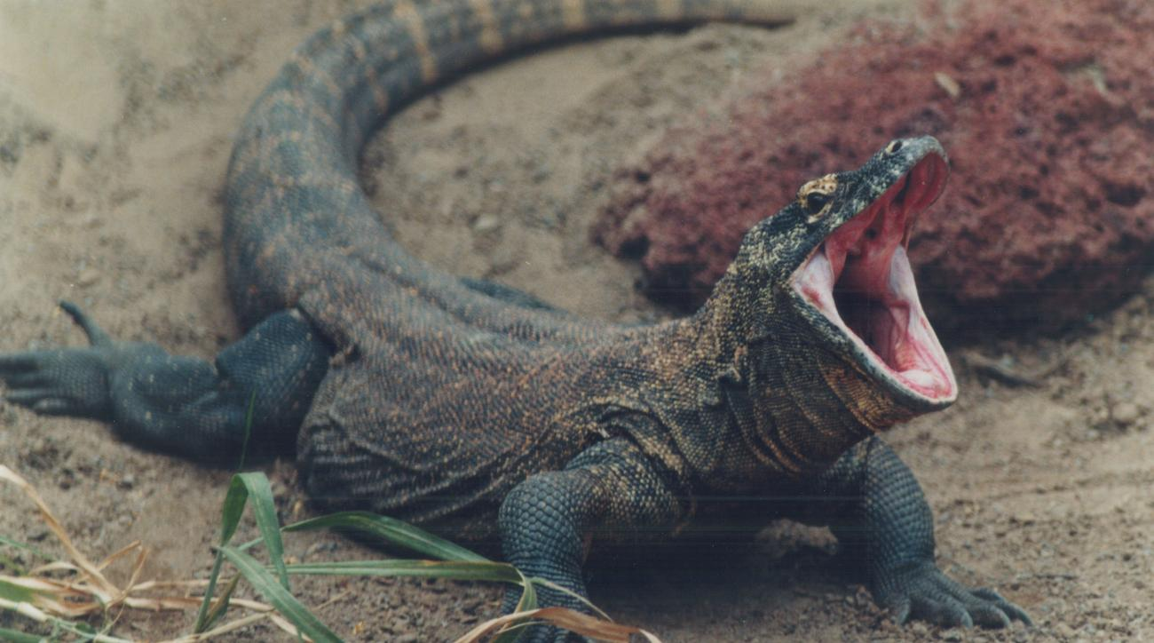UAB consider komodo dragon