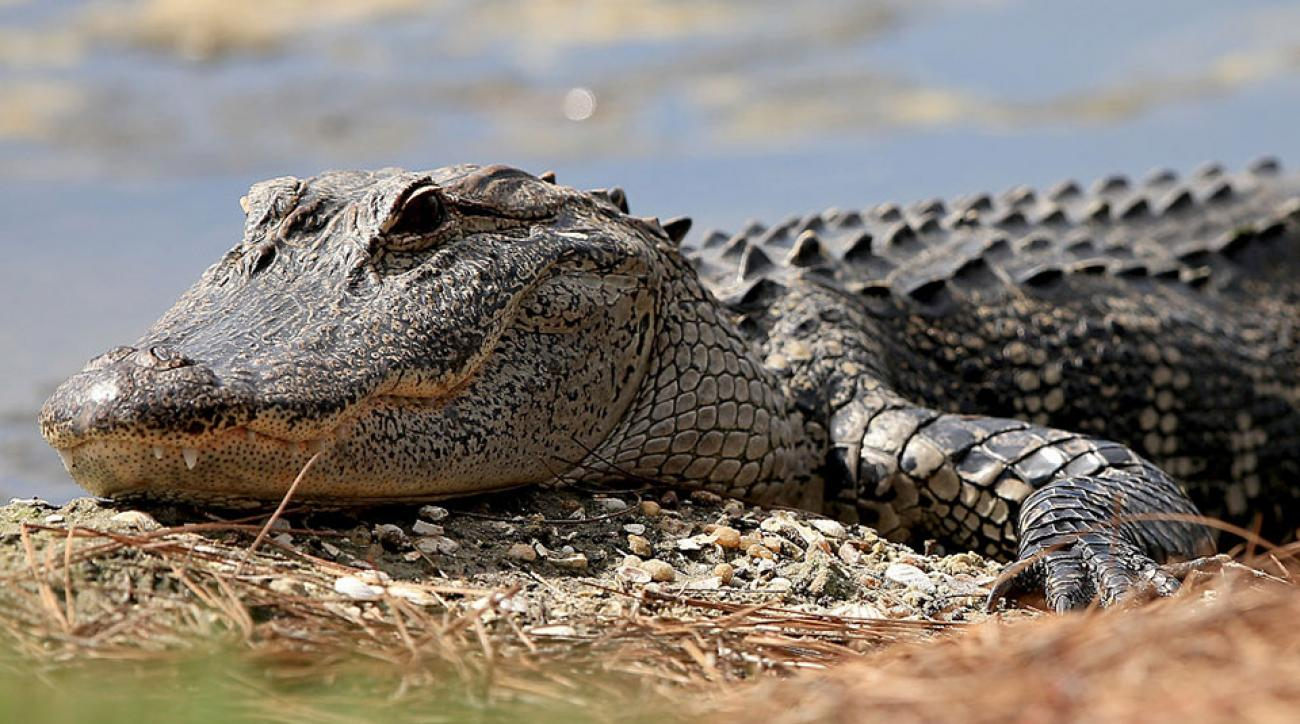 Alligators frequently make golf courses their homes, even during tournaments. Here a reptile takes