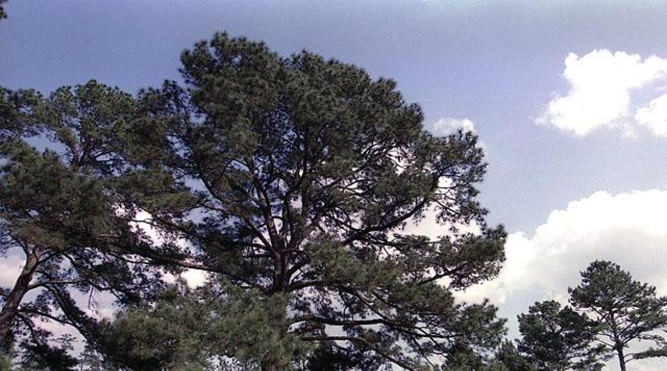 The Eisenhower Tree on the 17th fairway of Augusta National.