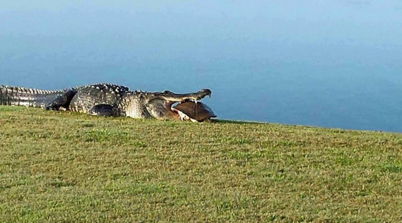 It's back! A massive alligator at Myakka Pines Golf Club swallows up a turtle on the golf course.