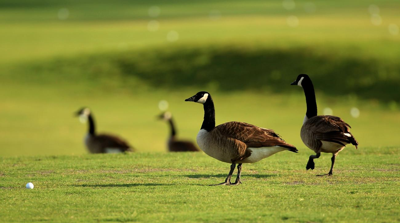 Canadian geese wander the practice range at TPC Sawgrass during the third round of the 2011 Players Championship.