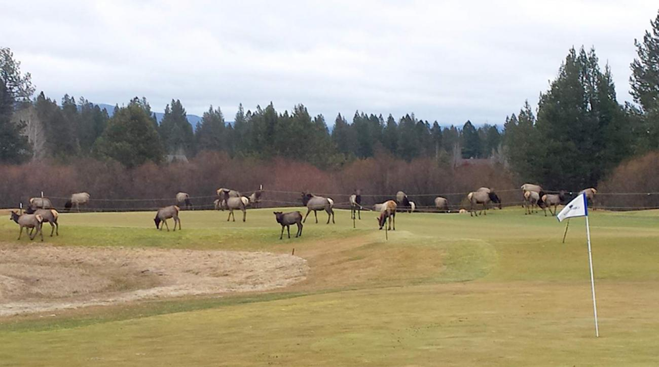 Elk herds take over some golf courses in Oregon.