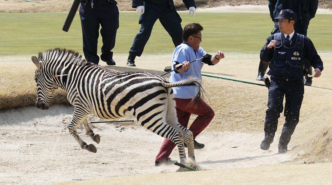 The zebra was shot with a tranquilizer dart before it ran into a lake.