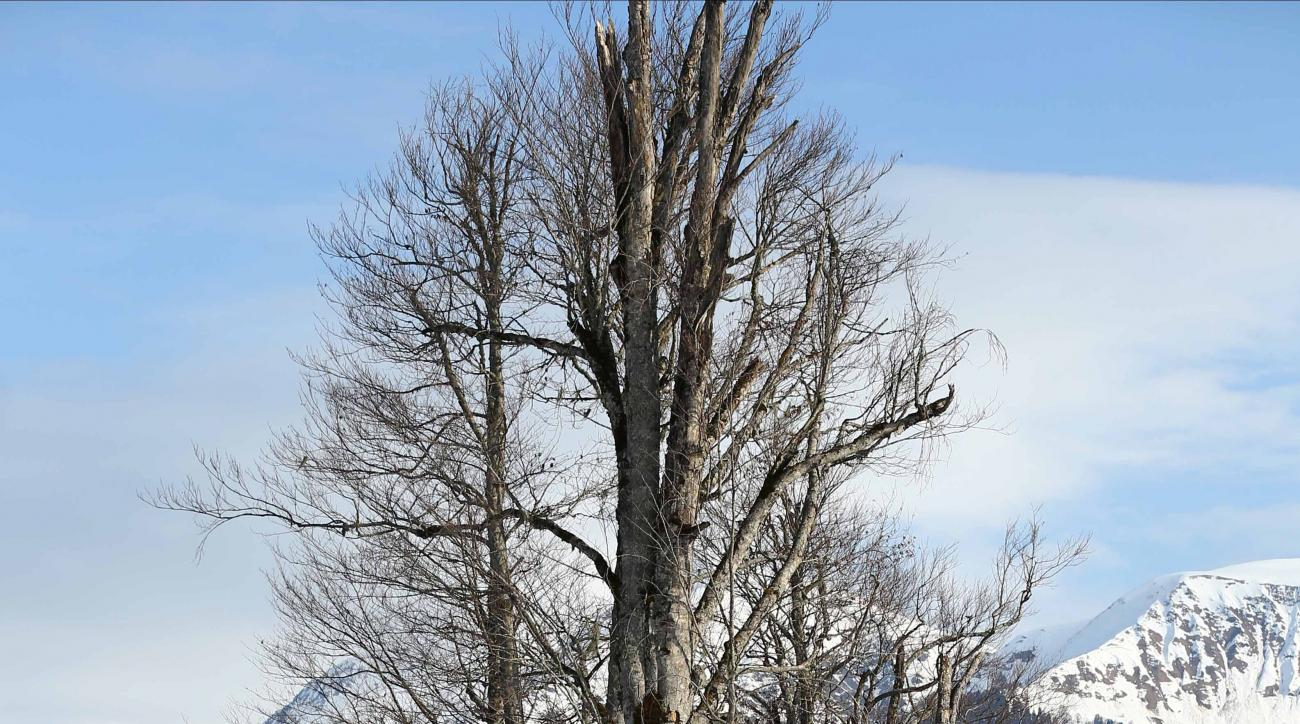 Coaches perch in a tree to watch the downhill portion of the women's supercombined at the Sochi 2014 Winter Olympics, Monday, Feb. 10, 2014, in Krasnaya Polyana, Russia. (AP Photo/Alessandro Trovati)
