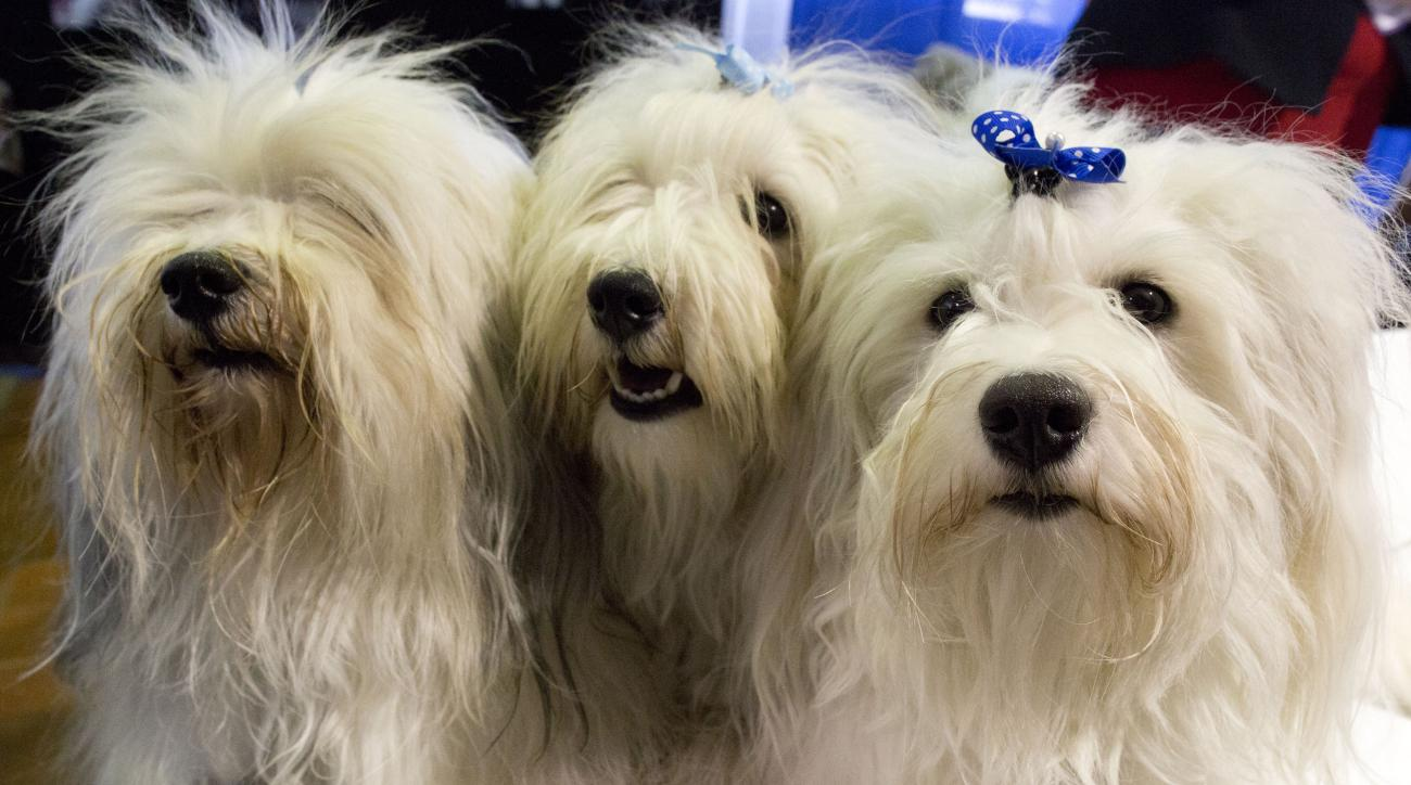 Silver, left, Sirius, center, and Sterling of the Greater New York Havanese club participate in the meet the breed portion of the 140th Westminster Kennel Club Dog Show, Saturday, Feb. 13, 2016, in New York. (AP Photo/Mary Altaffer)