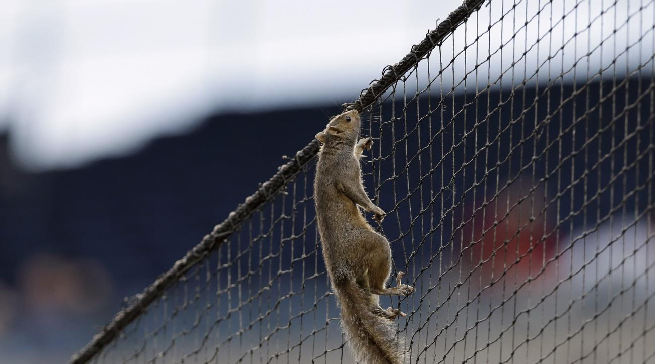 A squirrel climbs up the netting behind home plate during the second inning of a baseball game between the Philadelphia Phillies and the St. Louis Cardinals, Friday, June 19, 2015, in Philadelphia. (AP Photo/Matt Slocum)