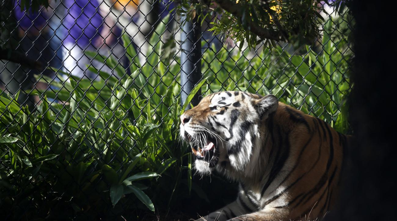 FILE - In this Oct. 17, 2015, file photo, Mike VI, LSU's tiger mascot, rests in his habitat before an NCAA college football game Between LSU and Florida in Baton Rouge, La. Diagnosed with cancer, LSU's live tiger mascot, Mike VI, won't take the field duri