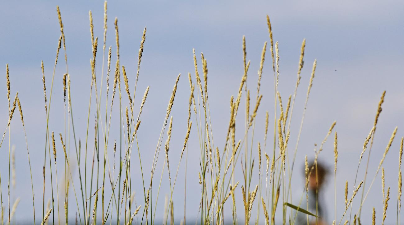 Dustin Johnson walks past some tall grass on the 16th hole during a practice round for the PGA Championship golf tournament Tuesday, Aug. 11, 2015, at Whistling Straits in Haven, Wis. (AP Photo/Brynn Anderson)