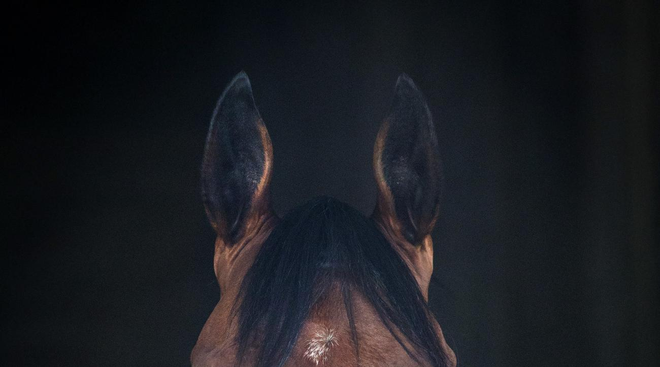 Triple Crown winner American Pharoah stands in his stall after returning to Churchill Downs on Sunday, June 7, 2015, in Louisville, Ky. American Pharoah won the Belmont Stakes in New York Saturday to capture Horse Racing's Triple Crown. (AP Photo/David St