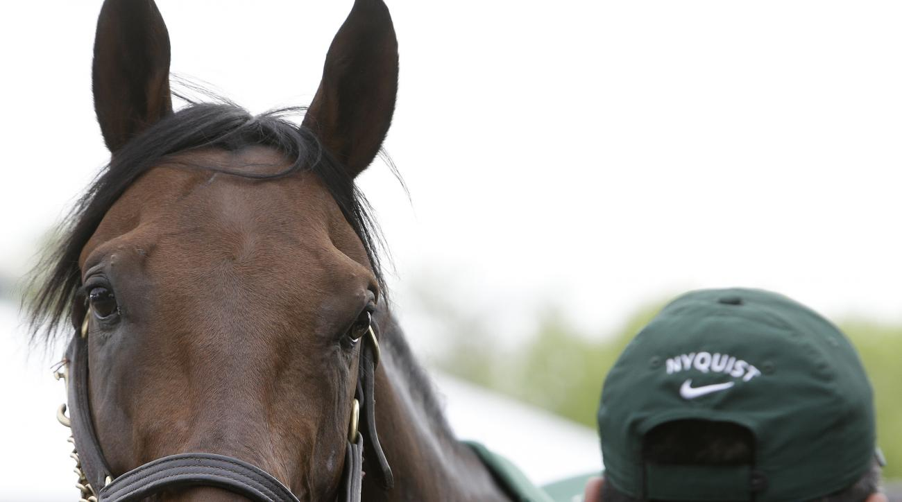 "Nyquist is attended to by hot walker Fernel ""Lefty"" Serrano, after a workout, Thursday, May 19, 2016, in Baltimore. The 141th Preakness Horse Race will be held Saturday. (AP Photo/Garry Jones)"