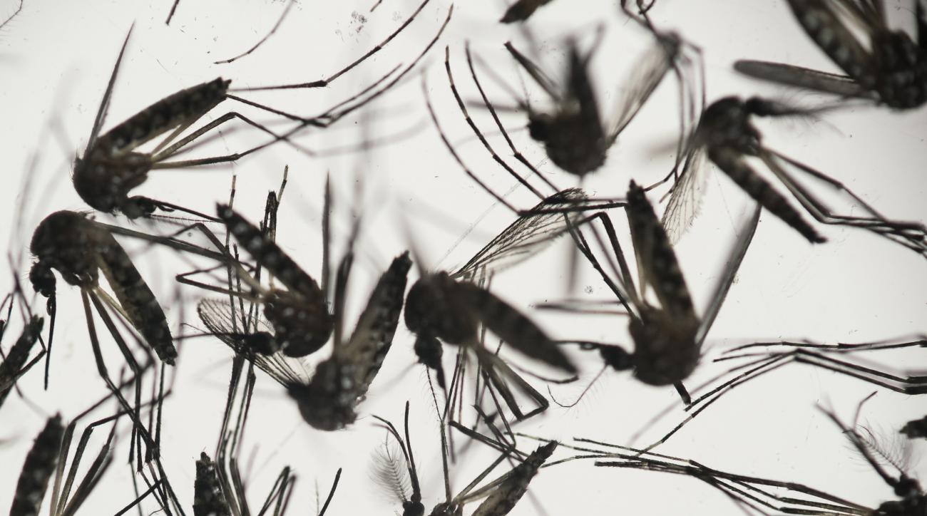 FILE - In this Jan. 27, 2016 file photo, samples of Aedes aegypti mosquitoes, responsible for transmitting dengue and Zika, sit in a petri dish at the Fiocruz Institute in Recife, Pernambuco state, Brazil. SC Johnson announced June 30, 2016, that its OFF!