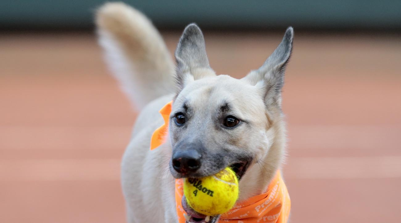 A dog picks up a tennis ball during the Brazil Open tournament in Sao Paulo, Brazil, Thursday Feb. 25, 2016. Four trained shelter dogs that once roamed the streets of Sao Paulo found themselves center stage at the ATP 250 Brazil Open tournament. The unusu