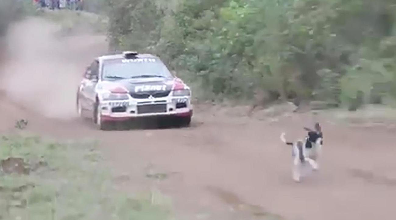 This dog miraculously escaped death during a rally car race IMAGE