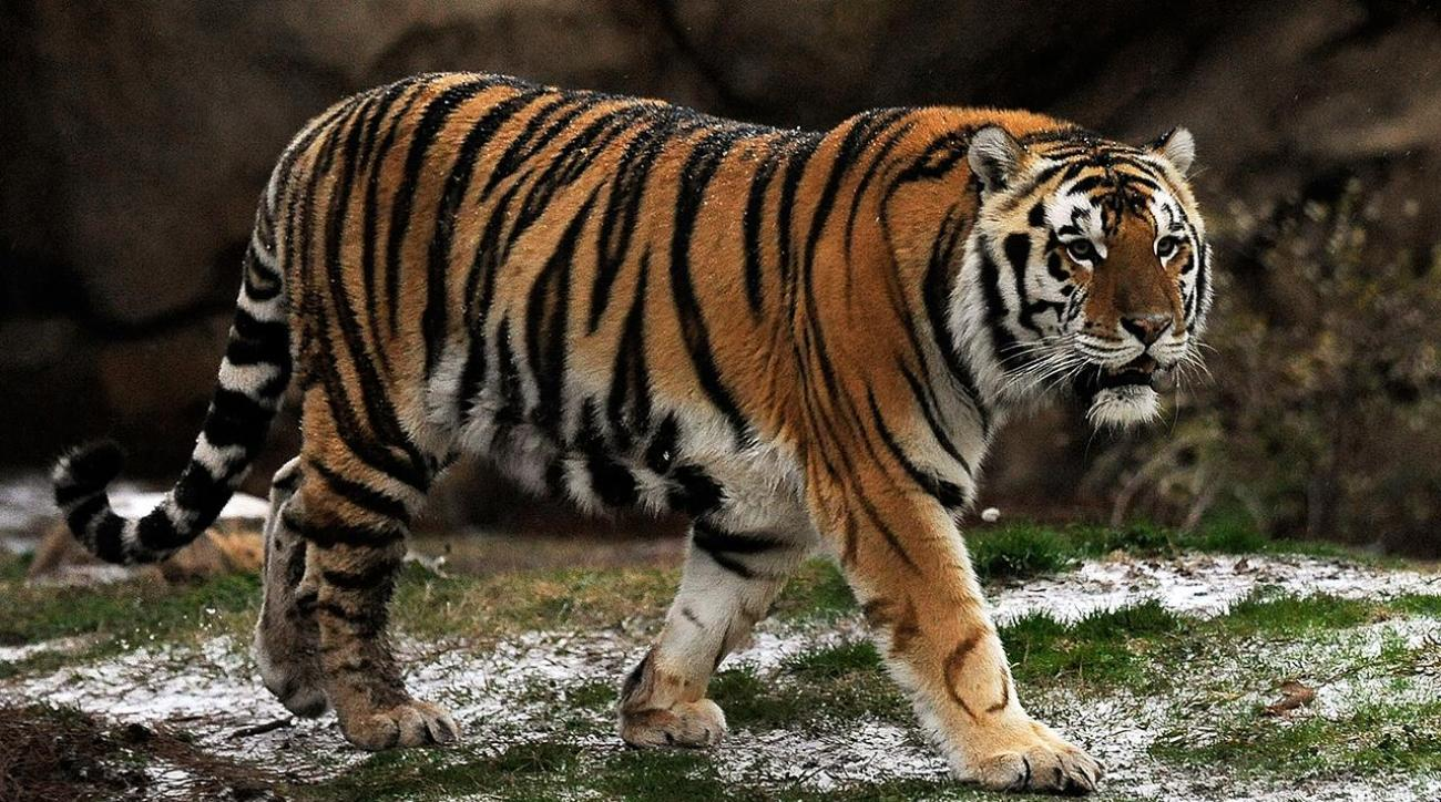LSU plans to euthanize Mike the Tiger after tests show cancer spreading
